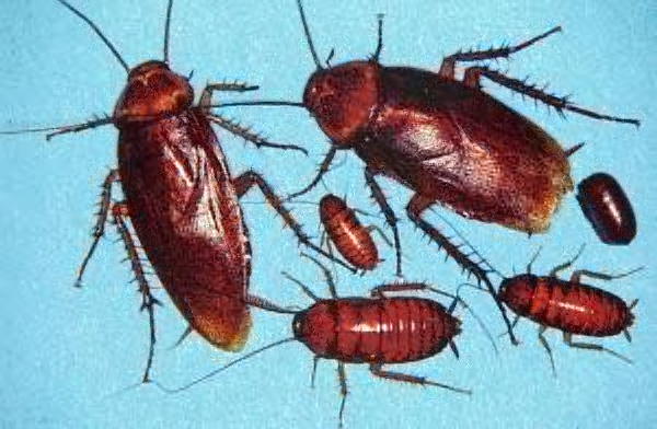 American Roach Adults, egg capsule and nymphs